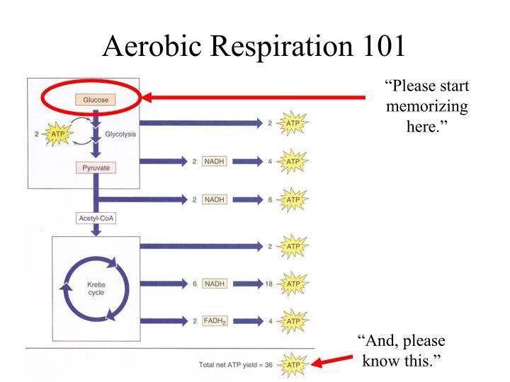 Aerobic Respiration 101