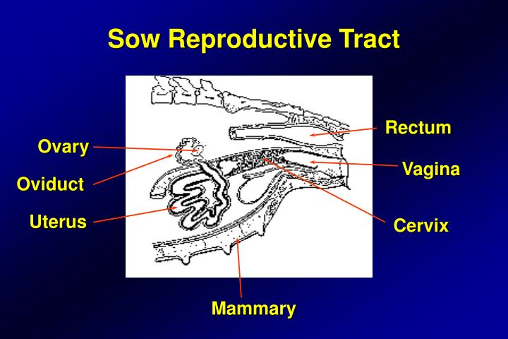 Sow Reproductive Tract