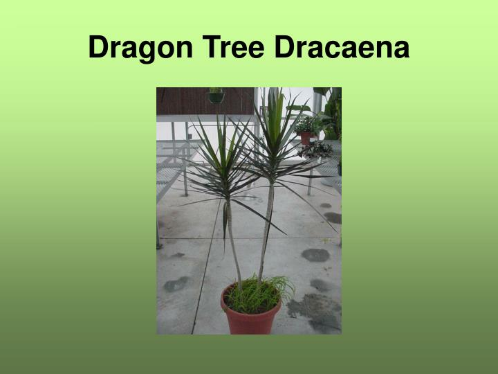 Dragon Tree Dracaena