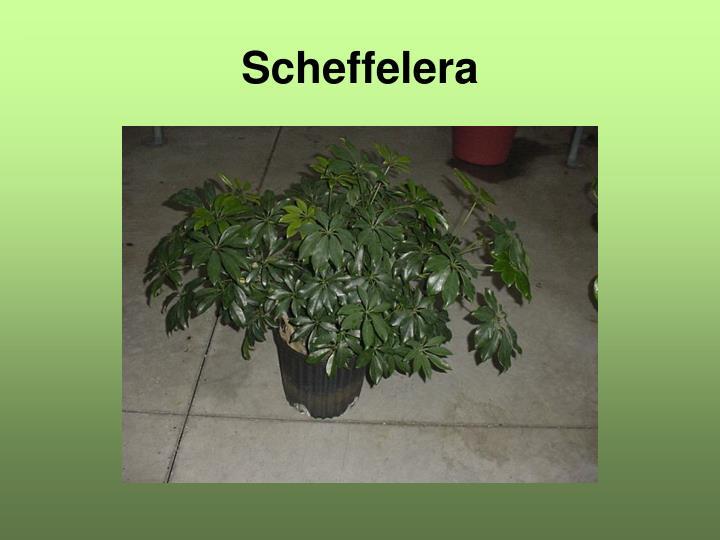 Scheffelera