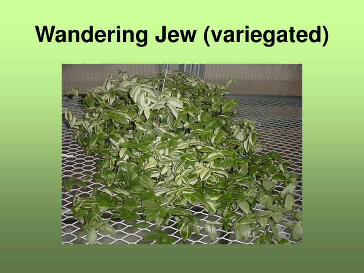 Wandering Jew (variegated)