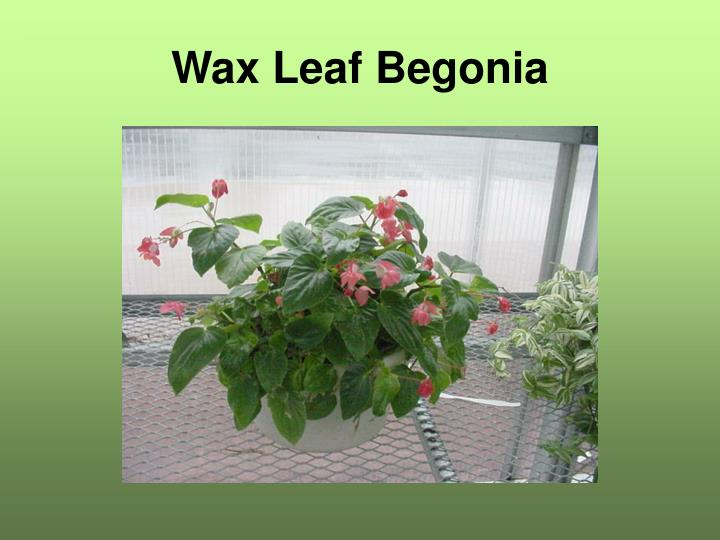 Wax Leaf Begonia