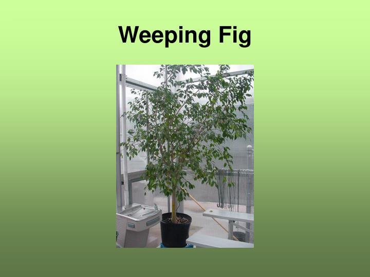 Weeping Fig