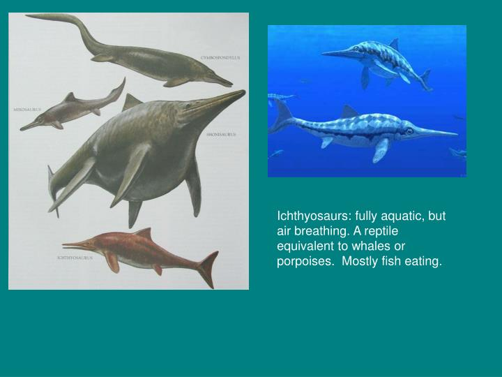 Ichthyosaurs: fully aquatic, but air breathing. A reptile equivalent to whales or porpoises.  Mostly fish eating.