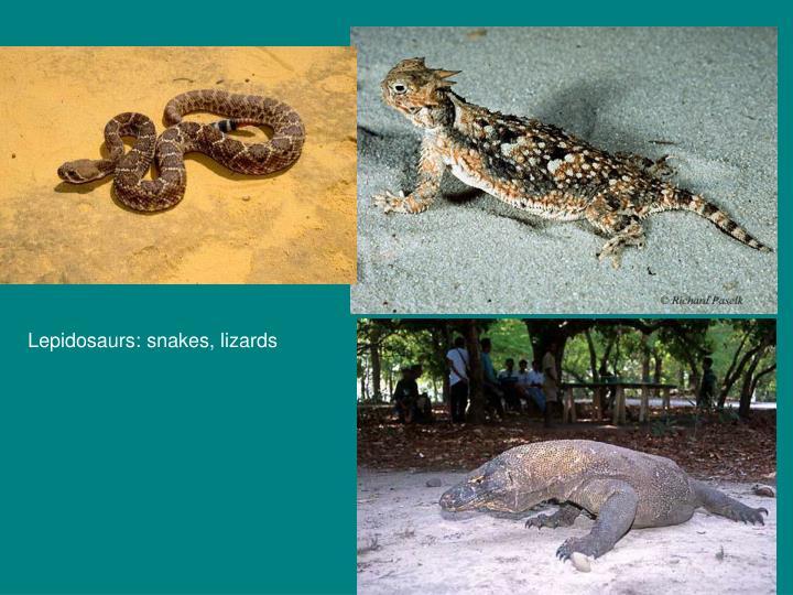 Lepidosaurs: snakes, lizards
