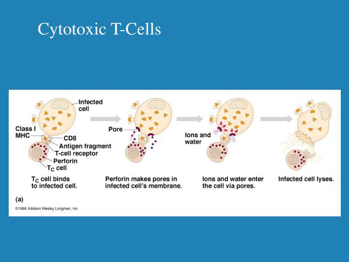 Cytotoxic T-Cells