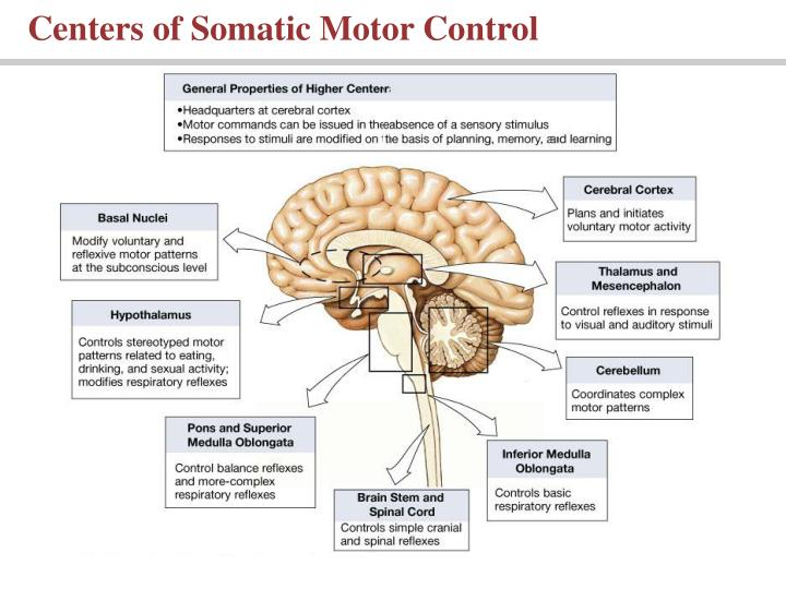 Centers of Somatic Motor Control