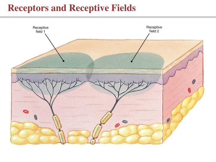 Receptors and Receptive Fields