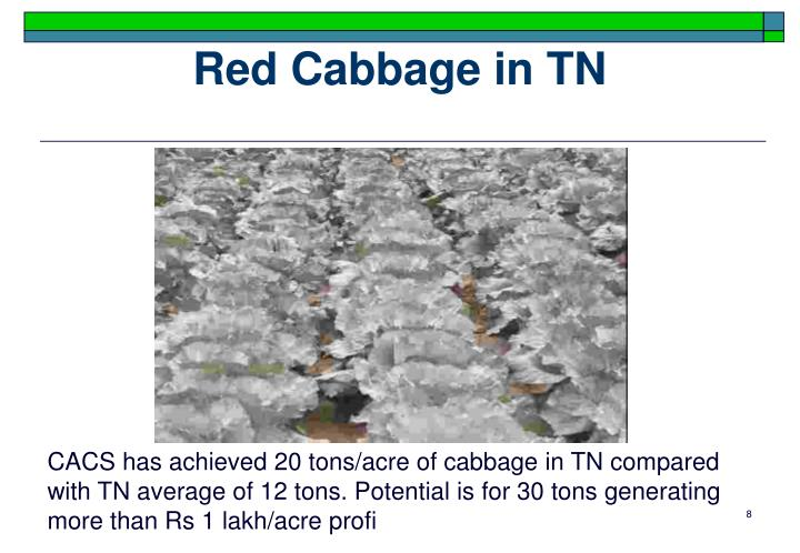 Red Cabbage in TN