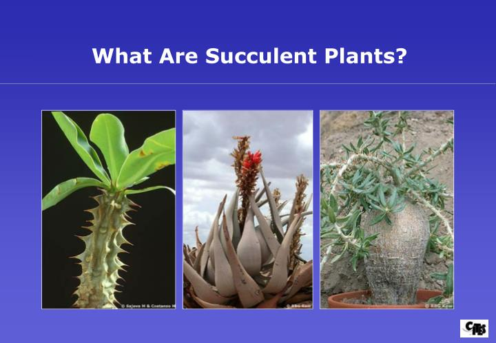 What Are Succulent Plants?