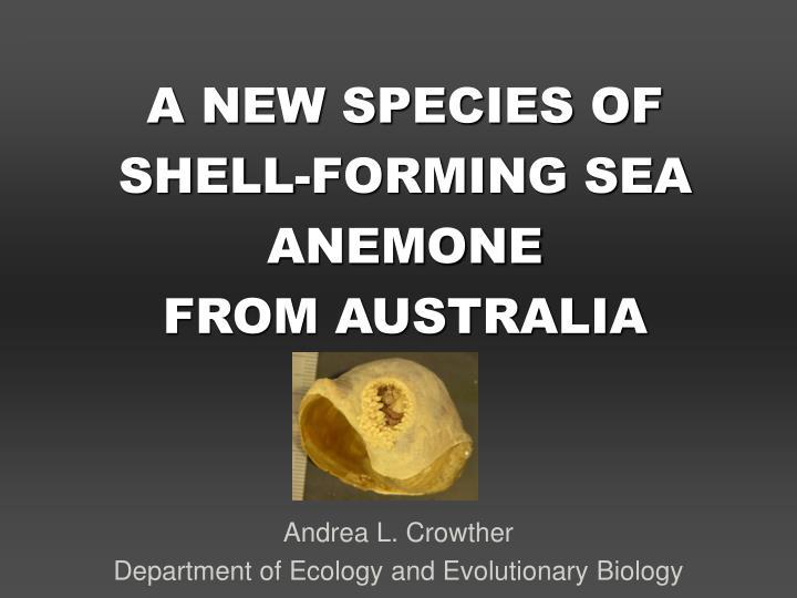 a new species of shell forming sea anemone from australia
