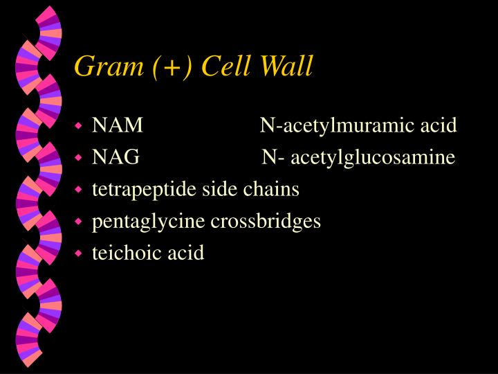 Gram (+) Cell Wall
