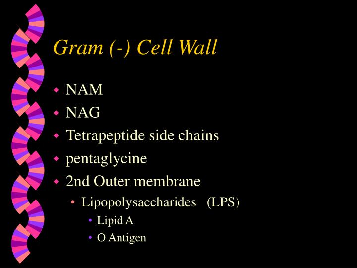 Gram (-) Cell Wall