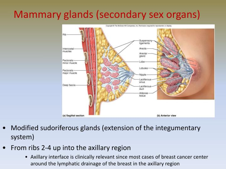 Mammary glands (secondary sex organs)
