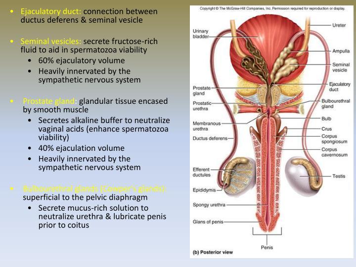 Ejaculatory duct: