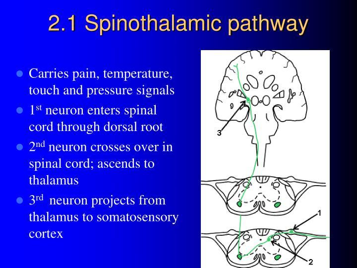 2.1 Spinothalamic pathway