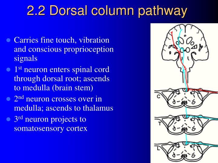 2.2 Dorsal column pathway