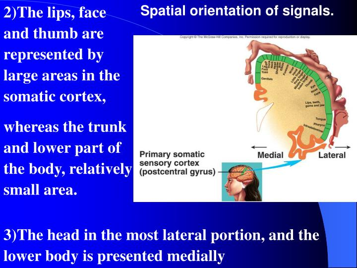 2)The lips, face and thumb are represented by large areas in the somatic cortex,