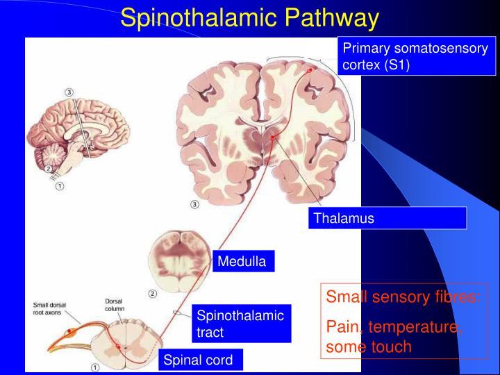 Spinothalamic Pathway