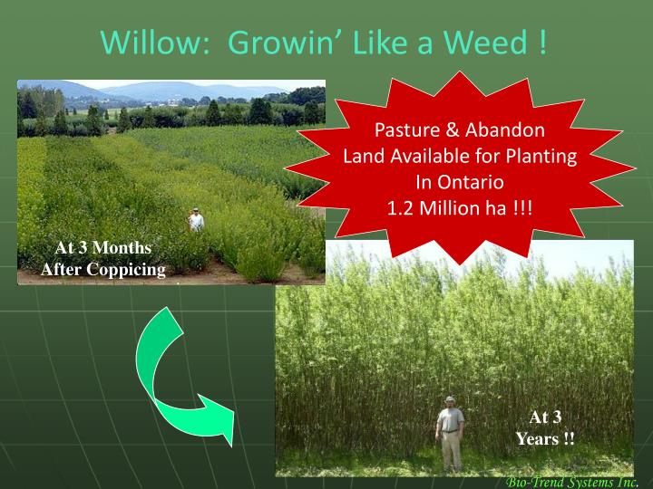 Willow:  Growin' Like a Weed !