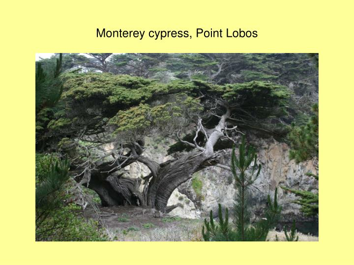 Monterey cypress, Point Lobos