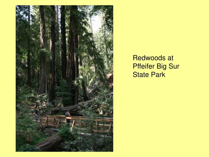 Redwoods at Pffeifer Big Sur State Park