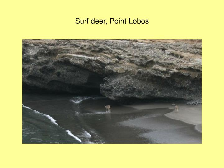 Surf deer, Point Lobos