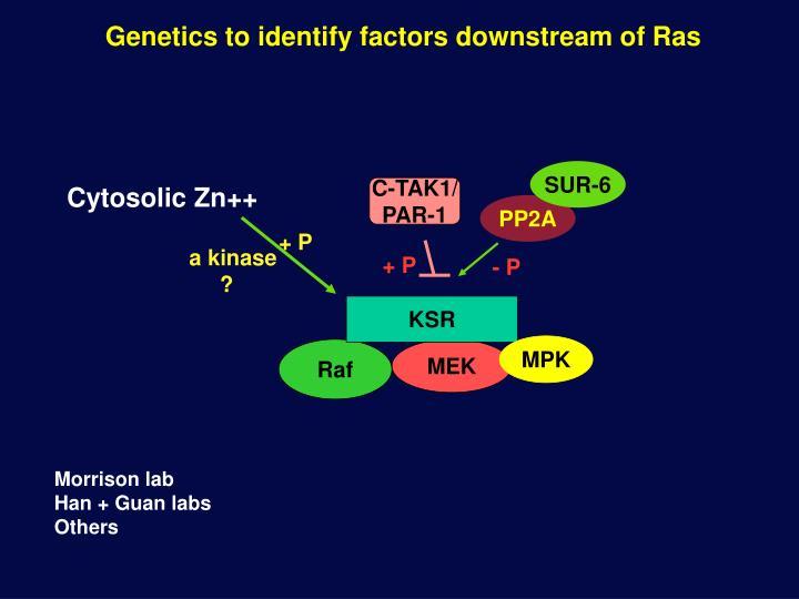 Genetics to identify factors downstream of Ras
