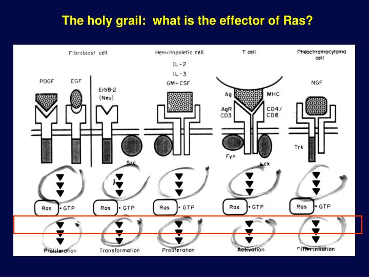 The holy grail:  what is the effector of Ras?