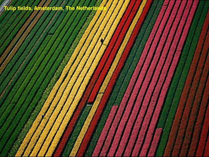 Tulip fields, Amsterdam, The Netherlands