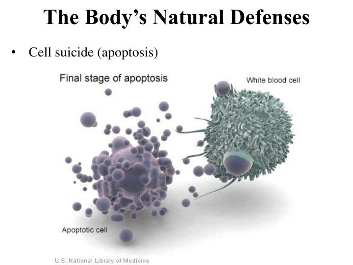 Cell suicide (apoptosis)