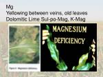 mg yellowing between veins old leaves dolomitic lime sul po mag k mag