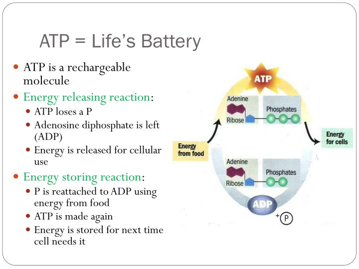 ATP = Life's Battery