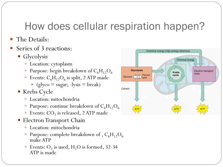 How does cellular respiration happen?