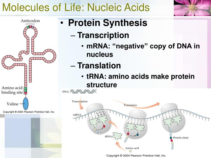 Molecules of Life: Nucleic Acids