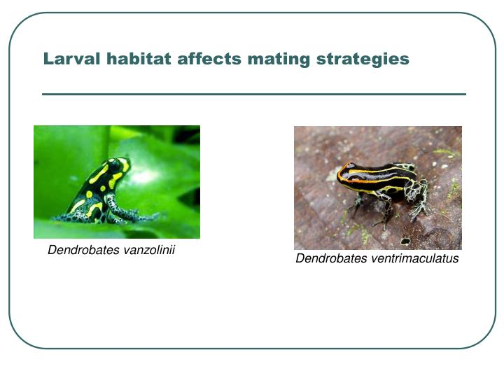 Larval habitat affects mating strategies