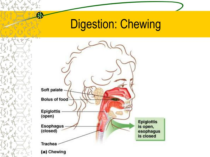 Digestion: Chewing