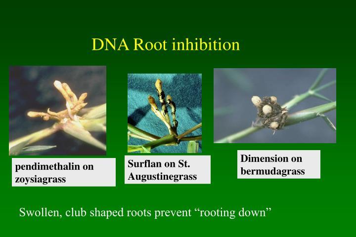 DNA Root inhibition