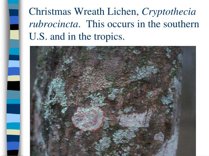 Christmas Wreath Lichen,