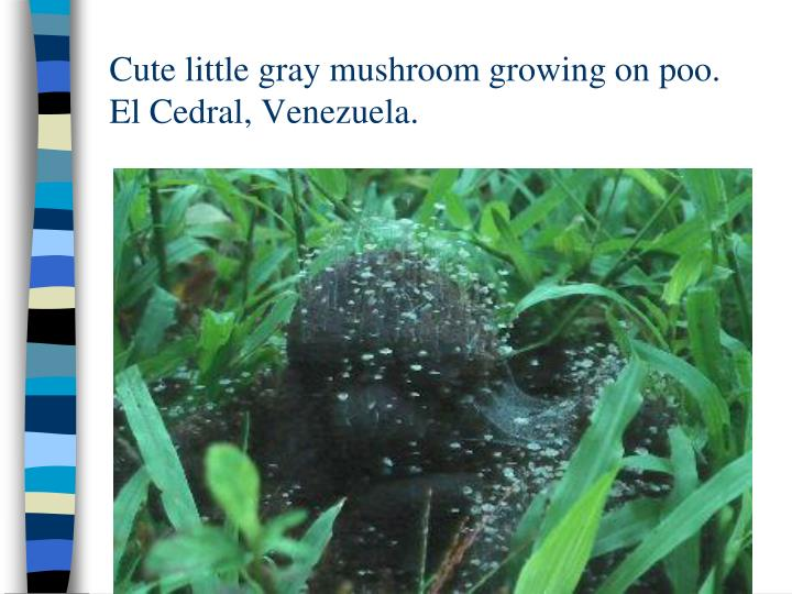 Cute little gray mushroom growing on poo.  El Cedral, Venezuela.