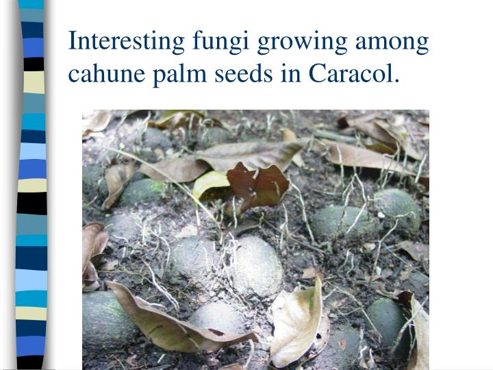 Interesting fungi growing among cahune palm seeds in Caracol.