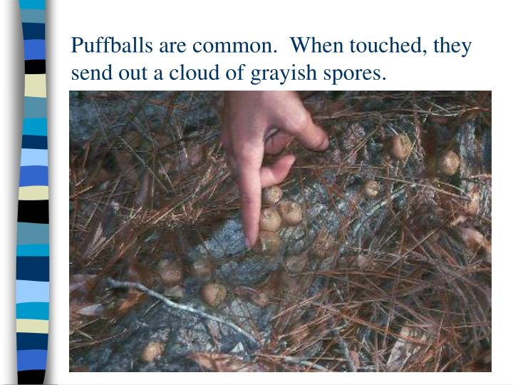 Puffballs are common.  When touched, they send out a cloud of grayish spores.
