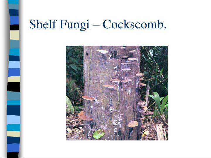 Shelf Fungi – Cockscomb.
