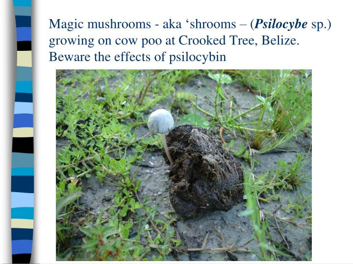 Magic mushrooms - aka 'shrooms – (