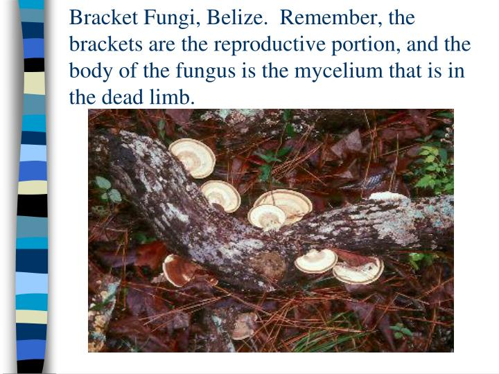 Bracket Fungi, Belize.  Remember, the brackets are the reproductive portion, and the body of the fungus is the mycelium that is in the dead limb.