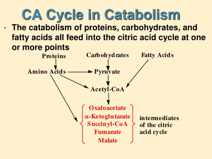 CA Cycle in Catabolism