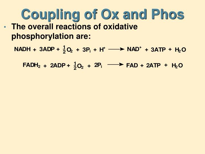Coupling of Ox and Phos
