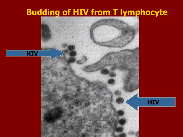 Budding of HIV from T lymphocyte