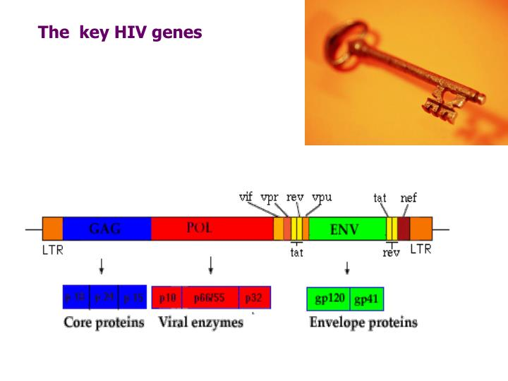 The  key HIV genes