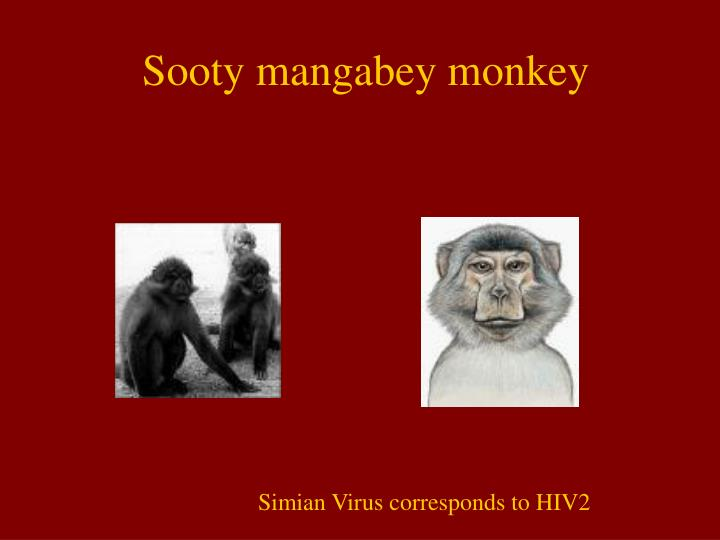 Sooty mangabey monkey
